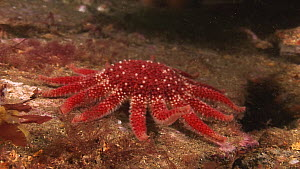 Common sunstar (Crossaster papposus) moving slowly and lifting arm, Endeavour wreck, Kirkwall, Orkney, Scotland, UK, July.  -  Andy  Jackson / 2020VISION