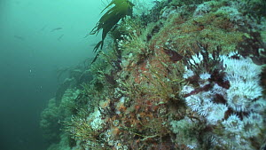 Tracking shot along vertical rock faces with Jewel sea anemones (Corynactis viridis), dead man's fingers (Alcyonium digitatum) and Sea urchins (Echinoidea), Out Stack, Shetland, Scotland, UK, June. Se...  -  Andy  Jackson / 2020VISION