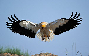 Egyptian vulture (Neophron percnopterus) landing, Faia Brava Reserve, Coa valley, Portugal, May - Wild Wonders of Europe / Widstrand