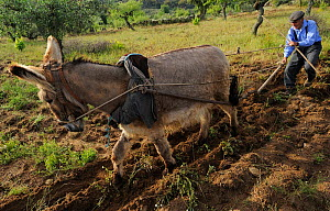 Josa Maria Fela�x, 89 years old, ploughing with his donkey, Faia Brava and Coa valley Archaeological park, Portugal, May 2011  -  Wild Wonders of Europe / Widstrand