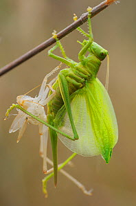 RF- Great green bush cricket (Tettigonia viridissima) emerging from nymphal skin, Faia Brava and Coa valley Archaeological park, Portugal, May. (This image may be licensed either as rights managed or...  -  Wild  Wonders of Europe / Widstrand