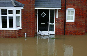 Flooding of newly built housing in the Glasdir estate, Ruthin, Vale of Clwyd, Denbighshire, Wales, UK.  This is an area at risk of flooding and therefore difficult to obtain House insurance. 27/11/ 20...  -  David Woodfall