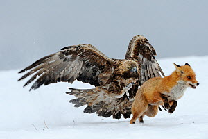 Golden Eagle (Aquila chrysaetos) adult defending carcass from Red Fox (Vulpes vulpes), Sinite Kamani National Park, Bulgaria, Europe. February. Commended, Behaviour : Birds category, Wildlife Photogra...  -  Stefan Huwiler