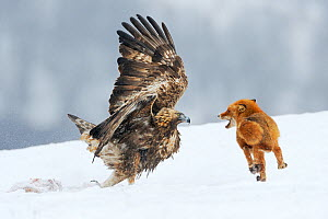 Golden Eagle (Aquila chrysaetos), adult defending carcass from Red Fox (Vulpes vulpes), Sinite Kamani National Park, Bulgaria, Europe. February  -  Stefan Huwiler