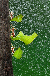 Texas leafcutter ant (Atta texana) workers carrying leaves during rain, New Braunfels, Central Texas, USA. Highly honoured, Small world Spectacular Category, Nature�s Best competition 2012.  -  Rolf Nussbaumer