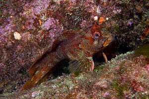 Tompot Blenny (Parablennius gattorugine) English Channel, off the coast of Sark, Channel Islands, July  -  Sue Daly