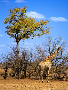 Giraffe (Giraffa camelopardalis), Kruger National Park, Transvaal, South Africa, September.  -  Oriol Alamany