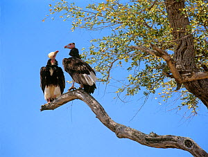 Two White headed vultures (Trigonoceps occipitalis) in tree looking at each other, Kruger National Park, Transvaal, South Africa, September. - Oriol Alamany