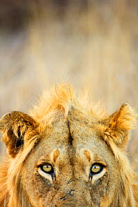 Male African lion (Panthera leo), Kruger National Park, Transvaal, South Africa, September. - Oriol Alamany