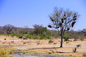 Group of Impala (Aepyceros melampus) walking through savannah landscape near Skukuza, Kruger National Park, Transvaal, South Africa, September.  -  Oriol Alamany