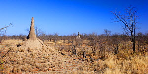 Termite mounds near Mopani, Kruger National Park, Transvaal, South Africa, September.  -  Oriol Alamany