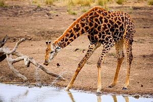 Giraffe (Giraffa camelopardalis giraffa) with Red-billed Oxpecker (Buphagus erythrorhynchus),  bending to drink at a waterhole, Kruger National Park, Transvaal, South Africa, September.  -  Oriol Alamany