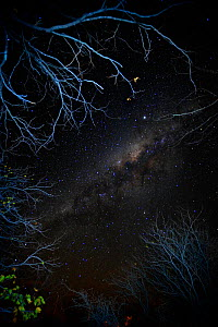 View of the night sky looking up through trees, with stars and the Milky Way, Mopani, Kruger National Park, Transvaal, South Africa, September. - Oriol Alamany