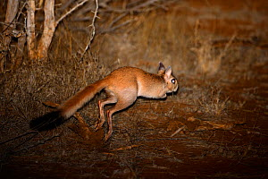 Springhare (Pedetes capensis) bounding away in spotlight at night, Kruger National Park, Transvaal, South Africa, September.  -  Oriol Alamany