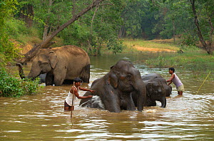 Indian Elephant (Elephas maximus) being washed by handlers / mahouts at the end of the day. Bandhavgarh National Park, India. Non-ex.  -  Andrew Parkinson