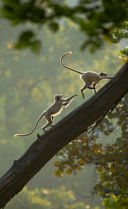 Hanuman / Northern Plains Grey Langur (Presbytis entellus) two youngsters chase each other up a sloping tree. Bandhavgarh National Park, India.  -  Andrew Parkinson