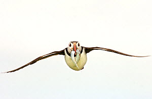 Puffin (Fratercula arctica) in flight with two fish in beak. Farne Islands, UK, July. - Andrew Parkinson