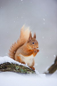 Red Squirrel (Sciurus vulgaris) adult sitting and feeding in snowfall. Cairngorms National Park, Scotland, UK, March.  -  Andrew Parkinson