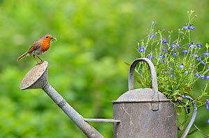 Robin (Erithacus rubecula) perched on watering can with invertebrate prey. Wiltshire, England, July. - David Kjaer