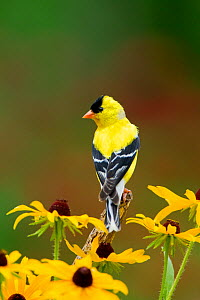 American Goldfinch (Carduelis tristis) male, perched amid Black-eyed Susan (Rudbeckia sp.) flowers in summer, New York, USA, July  -  Marie Read