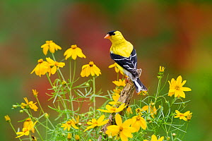 American Goldfinch (Carduelis tristis) male, perched amid yellow Threadleaf Coreopsis flowers in summer, New York, USA, July. - Marie Read