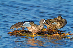 Blue-winged Teal (Anas discors) pair perched on floating vegetation, male stretching its wing and leg, Merritt Island National Wildlife Refuge, Florida, USA. March  -  Marie Read