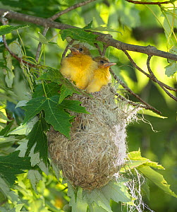 Baltimore Oriole (Icterus galbula), two soon-to-fledge nestlings looking out of their hanging nest in a Silver Maple (Acer saccharinum), New York, USA. June.  -  Marie Read