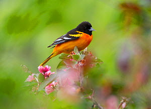 Baltimore Oriole (Icterus galbula) male in breeding plumage, perched among ornamental crabapple (Malus sp) blossoms in spring, New York, USA, May.  -  Marie Read