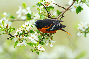 Baltimore Oriole (Icterus galbula) male foraging in apple blossom in spring, New York, USA, May.  -  Marie Read