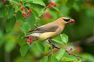Cedar Waxwing (Bombycilla cedrorum) first-year adult with no waxy tips to wings, feeding on Serviceberry (Amelanchier sp.) fruit in early summer, New York, USA, June - Marie Read