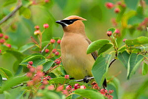 Cedar Waxwing (Bombycilla cedrorum) perched amongst Shadblow Serviceberry (Amelanchier canadensis) fruits in summer, New York, USA, June.  -  Marie Read