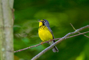 Canada Warbler (Cardellina canadensis) male in breeding plumage, singing in spring, New York, USA, May.  -  Marie Read