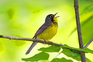 Canada Warbler (Cardellina canadensis) male in breeding plumage, singing in spring, New York, USA - Marie Read