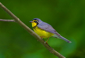 Canada Warbler (Cardellina canadensis) male in breeding plumage, spring, New York, USA  -  Marie Read