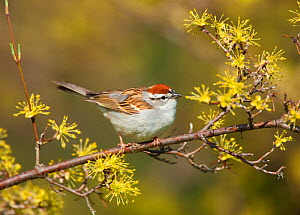 Chipping Sparrow (Spizella passerina), spring, New York, USA, April - Marie Read