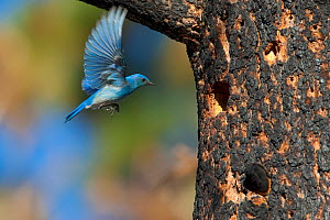 Mountain Bluebird (Sialia currucoides), male hovering to investigate potential nest hole in burned Jeffrey Pine (Pinus jeffreyi), Mono Lake Basin, California, USA, June. - Marie Read
