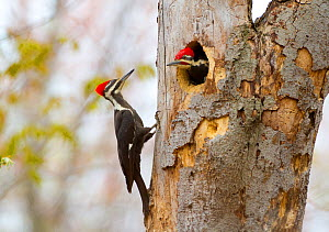 Pileated Woodpeckers (Dryocopus pileatus), pair during incubation exchange, female clinging to treetrunk as male comes out of nest hole entrance, spring, New York, USA, May.  -  Marie Read