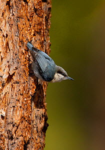 Pygmy Nuthatch (Sitta pygmaea), clinging head-downward on Jeffrey Pine (Pinus jeffreyi) trunk, Mono Lake Basin, California, USA, May. - Marie Read