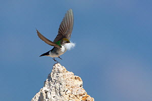 Violet-green Swallow (Tachycineta thalassina), female taking flight from tufa formation, carrying a feather for nest lining, spring, Mono Lake, California, USA, June.  -  Marie Read