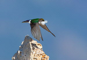 Violet-green Swallow (Tachycineta thalassina), female in flight carrying a feather for nest lining, spring, Mono Lake, California, USA, July.  -  Marie Read