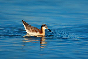 Wilson's Phalarope (Phalaropus tricolor), female feeding by using surface tension of water to pick up small prey item, probably brine shrimp (Artemia monica), while swimming, Mono Lake, California, US...  -  Marie Read
