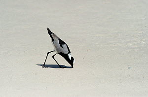 Blacksmith Lapwing / Blacksmith Plover (Vanellus armatus) foraging on a beach, Cape Town, South Africa, November  -  Graham Eaton