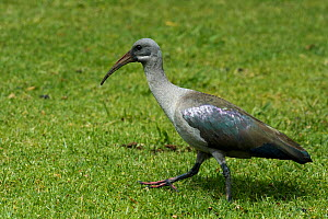 Hadada Ibis (Bostrychia hagedash) walking on grassland, Cape Town, South Africa, November - Graham Eaton