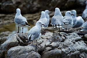 A group of Slender-billed Gulls (Chroicocephalus genei) on rocks near Cape of Good Hope, South Africa, November  -  Graham Eaton
