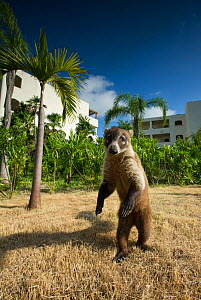 White-nosed Coati (Nasua narica) standing on hind legs on hotel lawn, Mexico, February  -  Graham Eaton