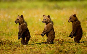 Brown Bear (Ursus arctos) cubs, three standing in a line on their hind legs. Finland, July. - Danny Green