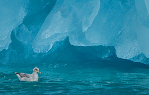 Fulmar (Fulmarus glacialis) on sea at base of iceberg. Svalbard, June. - Danny Green