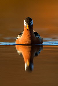 Grey Phalarope (Phalaropus fulicaria) reflected on water. Svalbard, June. - Danny Green