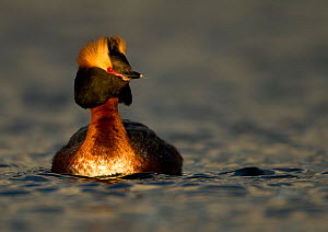 Slavonian Grebe (Podiceps auritus) on water in breeding plumage. Iceland, June.  -  Danny Green