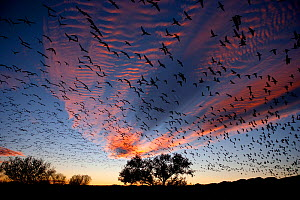 Snow Geese (Chen caerulescens) in flight, silhouetted against colourful dusk sky. Bosque del Apache, New Mexico, USA, November.  -  Danny Green
